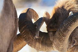 Fighting Bighorn Sheep: however, this really looks more like an action metaphor for the horny hookup culture.