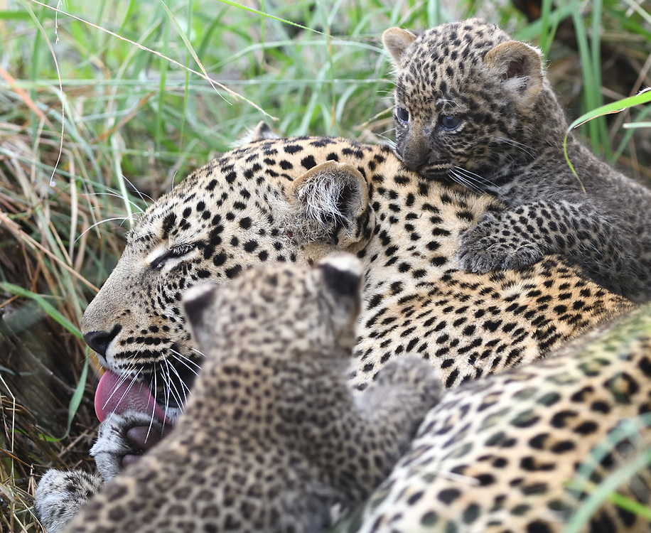 A female leopard (Panthera pardus) carefully cleans between her toes with her tongue while her very young cubs, eyes still blue,  clamber over her outside their den. Serengeti National Park, Tanzania.