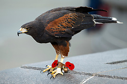 © Licensed to London News Pictures. 11/11/2014. LONDON, UK. The kestrel which keeps pigeons away wearing remembrance poppies on its talons in Trafalgar Square during Silence in the Square event as part of Remembrance Day on Tuesday 11 November 2014. Photo credit : Tolga Akmen/LNP
