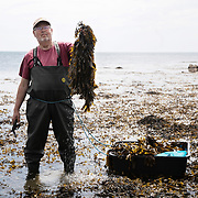 Bjarne Ottesen collects seaweed by the easternmost coast of Jutland, Denmark. Bjarne Ottesen is the co-founder of Nordisk Tang, which is a family run business. Ten years ago Bjarne was introduced to the idea that seaweed can be the answer to many current environmental issues by Michael Gorbachev. He and Gorbachev were both part of a Green Cross conference in South Africa where Bjarne first realised the huge potential to solve many of the world's food production issues by using seaweed. Researchers are currently loking into using seaweed as a biofuel to be used in cars and Nordisk Tang is part of this research project.