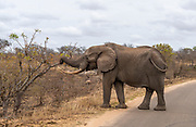 Huge African elephant (Loxodonta africana) with big tusks feeding close to the road in Kruger National Park, South Africa.