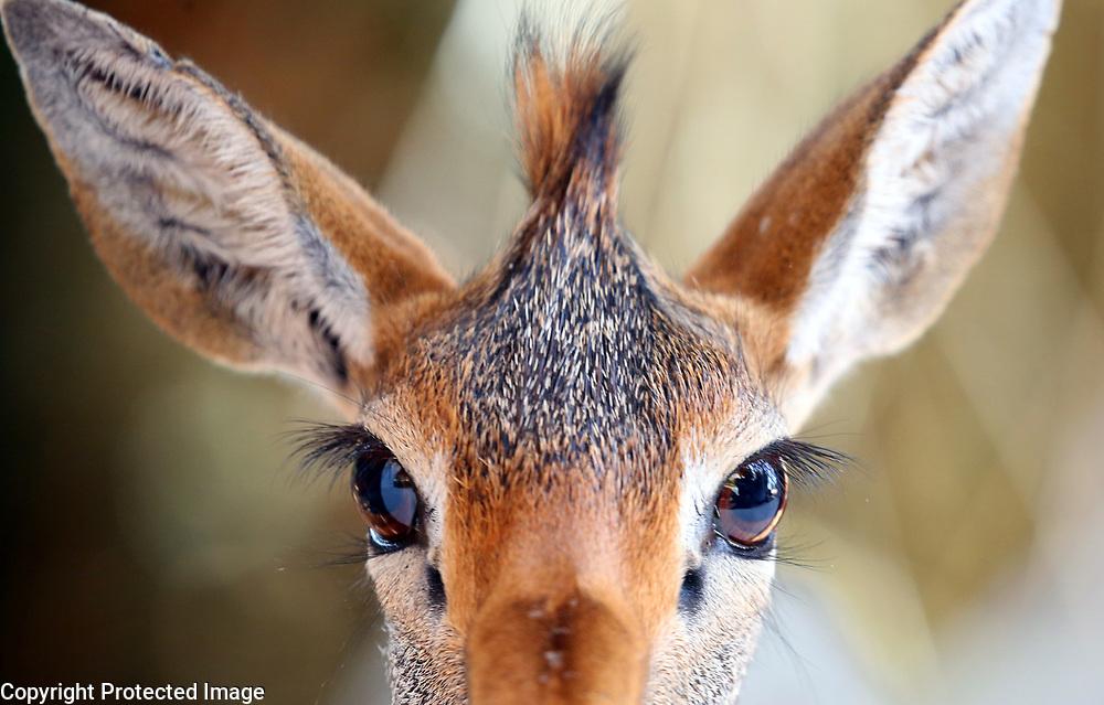 A dik dik antelope in the Samburu in Kenya.<br /> Photo by Shmuel Thaler <br /> shmuel_thaler@yahoo.com www.shmuelthaler.com