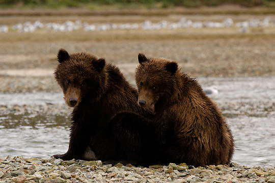 Alaskan Brown Bear (Ursus middendorffi) Two young cubs resting together, waiting for mother to return from fishing. Katmai National Park. Alaska.