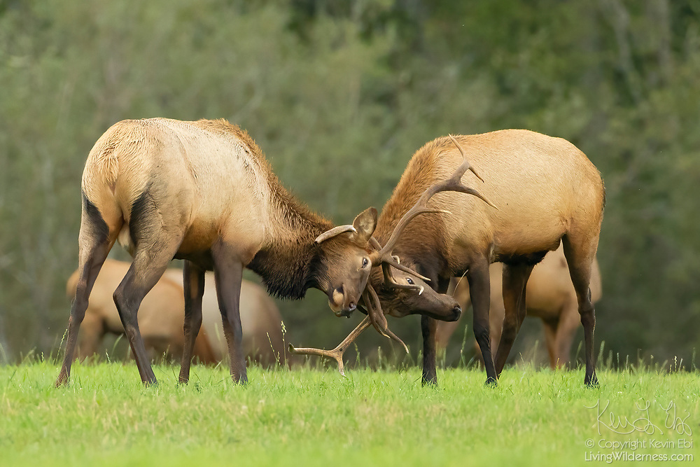 """Two bull elk (Cervus canadensis) spar in the field at Meadowbrook Farm, a park in North Bend, Washington. Elk, which are related to deer, are also known as wapiti, a Native American word that means """"light-colored deer."""" Elk lose their antlers in the early spring, but grow them back over the summer in time for the fall rut."""