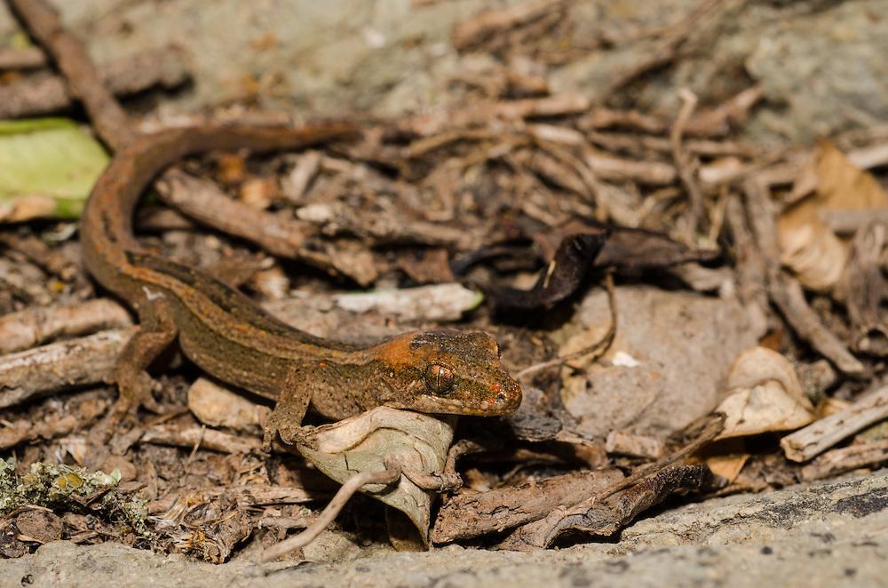 Pacific gecko, Dactylocnemis pacificus, Unknown, possible Matapia