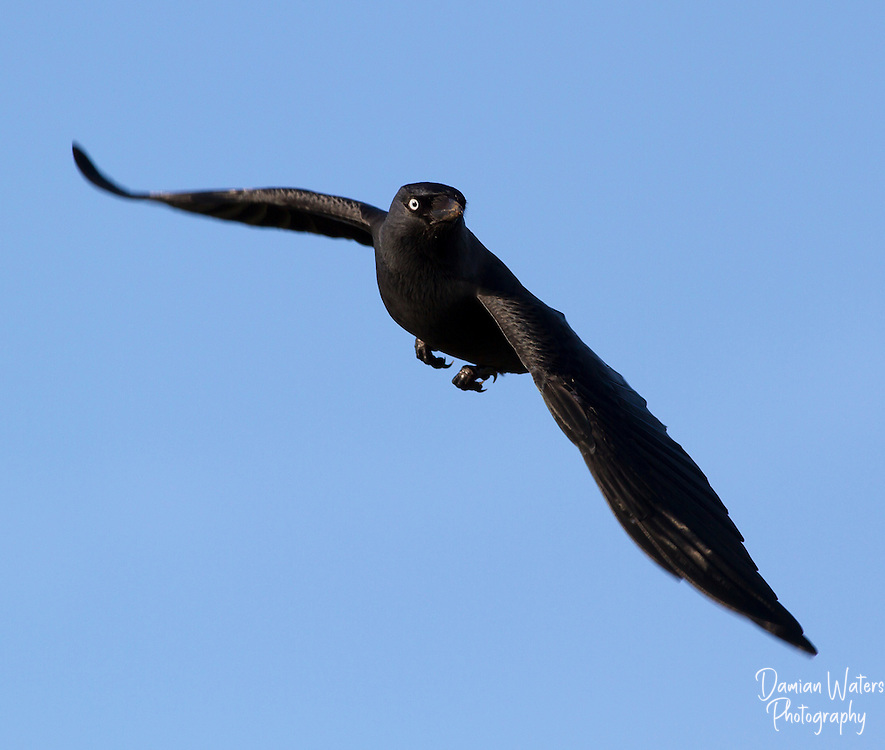 Jackdaw - Corvus monedula - in flight with wings spread wide, Llandudno, Wales - January