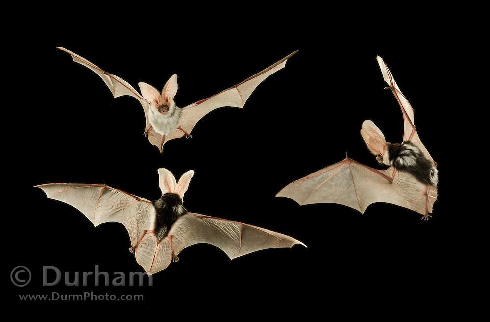 A digital composite of a spotted bat flying at night in the Kaibab National Forest, Arizona. (1.5 miles from the edge of the Grand Canyon). The distinctive spots on the back give this animal its name.