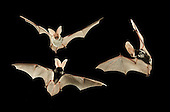 Most Elusive - The Spotted Bat