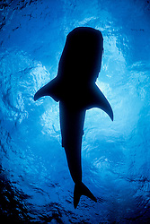 The unmistakable silhouette of a Whale Shark, Rhincodon typus, passes overhead. Richelieu Rock, Thailand, Andaman Sea