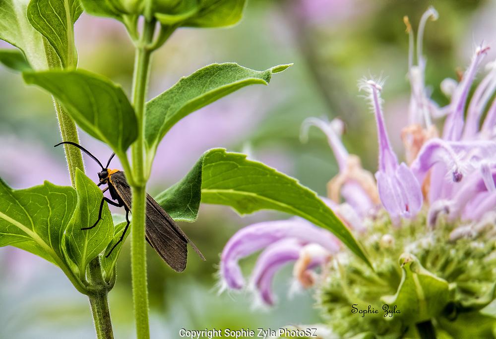 Yellow-collared Scape Moth on Monarda