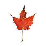 Red Maple leaf on white background, fall foliage, Bar Harbor, Maine