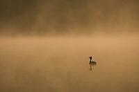 Slavonian grebe (Podiceps auritus) on misty lake at dawn, Bergslagen, Sweden.