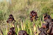 Coastal Iris or Purple Iris (Iris atropurpurea) This Iris is endemic to Israel Phitigraohed in Ness Ziona, Israel in February