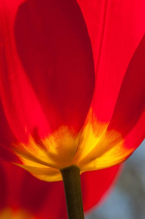 Tulip Aglow