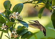 Anna's Hummingbird sipping at a Meyer Lemon tree.
