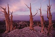 Bristlecone Pines in White Mountains, California. Route 395: Eastern Sierra Nevada Mountains of California.