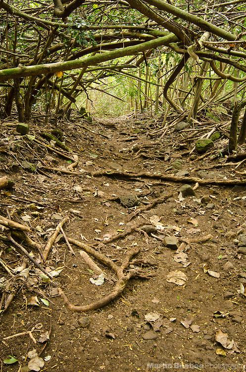 Kuamo'o-Nounou Trail winding through a tangle of trees, Kauai, Hawaii
