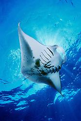 reef manta ray or coastal manta, feeding on plankton, Manta alfredi, Kona Coast, Big Island, Hawaii, USA, Pacific Ocean