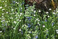 Europa, Deutschland, Nordrhein-Westfalen, Troisdorf, Sternmiere und Gundermann in der Wahner Heide. - <br /> <br /> Europe, Germany, Troisdorf, North Rhine-Westphalia, starwort and ground-ivy in the Wahner Heath.
