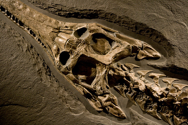 Stock photo of a Steneosaur head and neck detail at the new Paleontology Hall at the Houston Museum of Natural Science