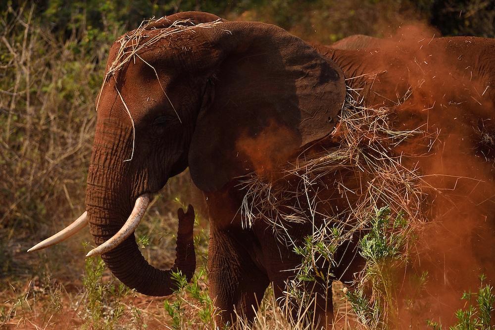 African bush elephant, Loxodonta africana, Zimanga Private Nature Reserve, KwaZulu Natal, South Africa