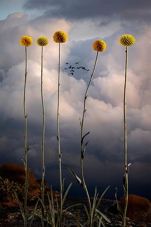 Temple Of Flora: Australis<br /> Prints available <br /> 150x120cm $2,800.00AU<br /> 1100x80cm $2,100.00AU<br /> Editions of 8 <br /> Contact for edition info Australian Native Botanicals in surreal landscape