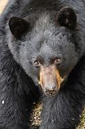 Black bear (Ursus americanus) foraging in Southcentral Alaska. Spring. Afternoon.