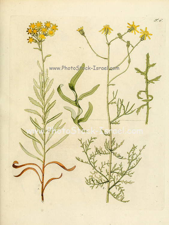 hand painted Botanical illustration of flower details leafs and plant from Collectaneorum Supplementum by Nicolai Josephi Jacquin Published 1796. Figure 6