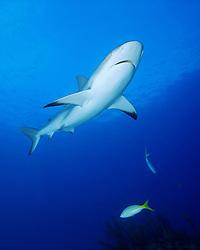 Caribbean reef sharks, Carcharhinus perezi, Gramd Bahama, Bahamas, Caribbean Sea, Atlantic Ocean
