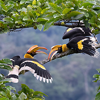 The Great hornbill (Buceros bicornis) also known as the concave-casqued hornbill, great Indian hornbill or great pied hornbill, is one of the larger members of the hornbill family. It is found in the Indian subcontinent and Southeast Asia.