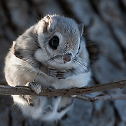 This is a Pteromys volans orii flying squirrel male pausing after grooming himself during an early winter morning. This male shared the nest with a female, which joined him shortly after this photo was taken. The pair mated 10 days after this photo was taken.