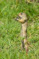 European Ground Squirrel, Spermophilus citellus, feeding on an insect, Europaeischer Ziesel, near Nikopol, Bulgaria