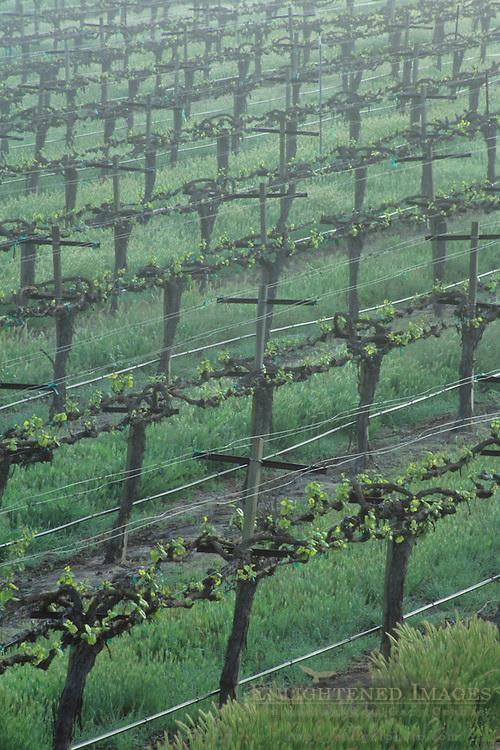 Morning fog over vineyard rows in spring, along Union Road, Paso Robles San Luis Obispo County, California