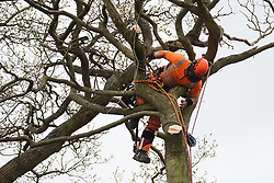 Wendover, UK. 28th April, 2021. A tree surgeon working on behalf of HS2 Ltd fells a tree for the HS2 high-speed rail link in ancient woodland at Jones Hill Wood in the Chilterns AONB. Felling of Jones Hill Wood, which contains resting places and/or breeding sites for pipistrelle, barbastelle, noctule, brown long-eared and natterer's bats and is said to have inspired Roald Dahl's Fantastic Mr Fox, has resumed after a High Court judge refused environmental campaigner Mark Keir permission to apply for judicial review and lifted an injunction preventing further felling.