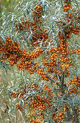 Hippophae rhamnoides in fruit<br /> Sea Buckthorn