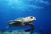 male loggerhead turtle, Caretta caretta, Bahamas ( Western Atlantic Ocean )