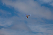 Tern fishing in Bolsa Chica Ecological Reserve, Orange County, California, USA