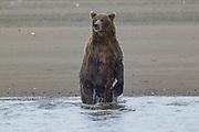 Alaskan brown bear in Lake Clark National Park