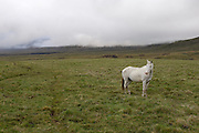 Yanahurco - Wednesday, Dec 26 2007: A white horse stands alone on the paramo at Yanahurco. Hacienda Yanahurco is situated in the Cordillera Real de Los Andes on the South-eastern flank of Cotopaxi Volcano.  (Photo by Peter Horrell / http://www.peterhorrell.com)