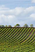 Rioja Vineyard on Ruta Del Vino wine route near Marques de Riscal in La Rioja-Alavesa area of Northern Spain RESERVED USE