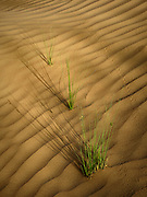 Grass growing in a wind blown sand dune