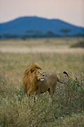 Tanzania, 2010 - Toward dusk a lion in the Serengeti starts to roam around