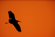 Great Blue Heron in Flight at sunset - Mississippi