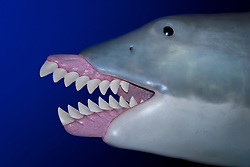 giant scissor-toothed shark, Edestus giganteus, an extinct, prehistoric shark species, lived about 300 million years ago during Carboniferous period, model, digital composite
