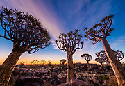 """The Quiver Tree Forest (Kokerboom Woud in Afrikaans) is a forest and tourist attraction of southern Namibia. It is located about 14 km north-east of Keetmanshoop, on the road to Koës, on the Gariganus farm. It comprises about 250 specimens of Aloe dichotoma, a species of aloe that is also locally known as """"quiver tree"""" (Afrikaans: kokerboom) because bushmen traditionally used its branches to make quivers. The forest is spontaneous; the tallest quiver trees are two to three centuries old. The forest was declared a national monument of Namibia on June 1, 1995.<br /> Aloe dichotoma (the quiver tree or kokerboom) is a tall, branching species of aloe, indigenous to Southern Africa, specifically in the Northern Cape region of South Africa, and parts of Southern Namibia."""