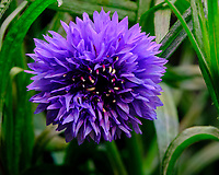 Purple Cornflower Flower. Image taken with a Fuji X-T3 camera and 80 mm f/2.8 OIS macro lens (ISO 160, 80 mm, f/16, 1/4 sec).