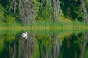 American white pelican (Pelecanus erythrorhynchos) on northern lake<br />The Pas<br />Manitoba<br />Canada