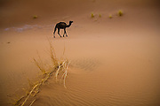 A lone camel, its front legs tied by its keeper to prevent it from running away, walks in search of food near camp in the large sand dunes of Erg Zehar near M'hamid, Morocco.