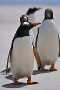 Small group of gentoo penguins standing on the beach.