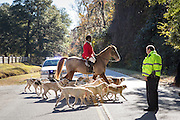 Huntsmen Jamie Green leads the hounds across a country road at the start of the first hunt of the season after the annual Blessing of the Hounds at Middleton Place Plantation November 25, 2012 in Charleston, South Carolina. Fox Hunting in South Carolina is a drag hunt which doesn't kill live foxes.